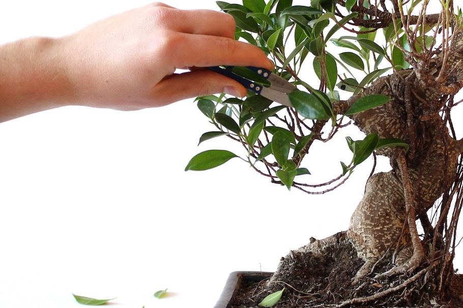 Grow Trees From Cuttings As Bonsai Cultivation Technique Bonsai Empire