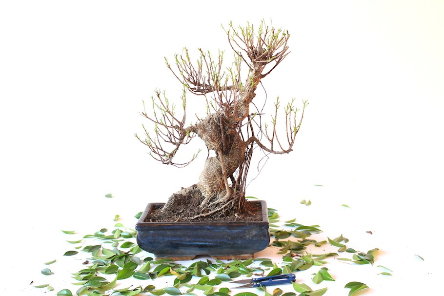 Bonsai Defoliation Pruning Leaves To Induce New Growth Bonsai Empire