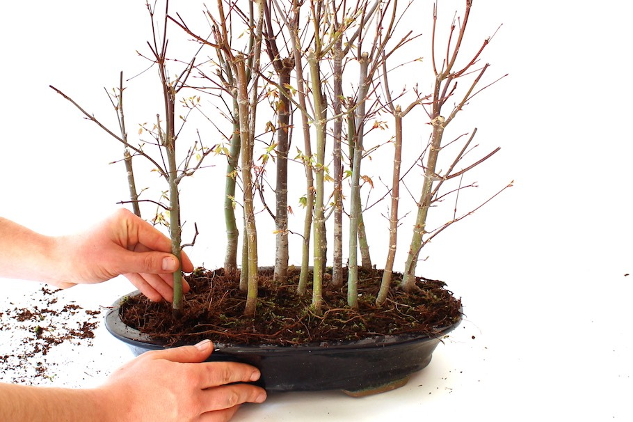 How To Create A Bonsai Forest Group Planting Bonsai Empire