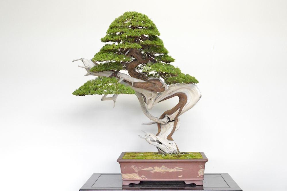 Juniper Bonsai tree, photo by Bjorn Bjorholm ...