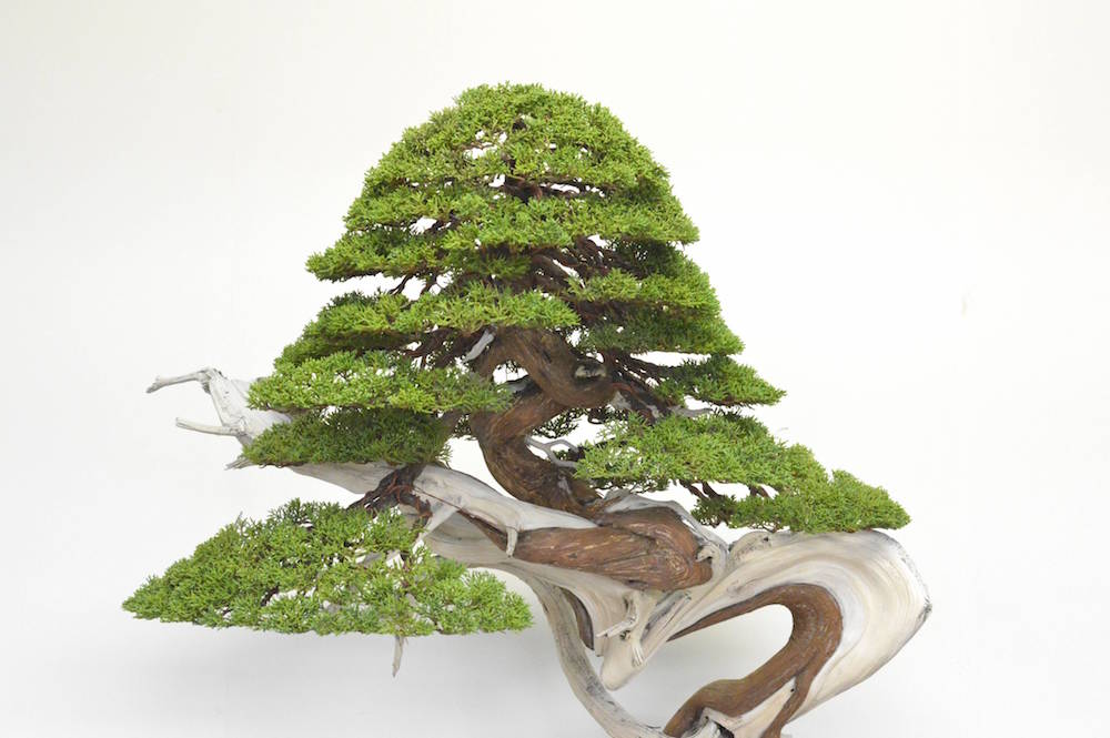 bonsai tree gallery bonsai empire rh bonsaiempire com