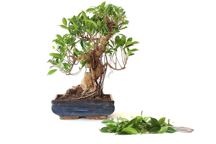 pruning bonsai cutting branches to shape the tree bonsai empire rh bonsaiempire com
