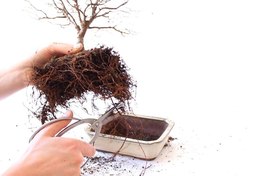 Repotting Bonsai How To Repot Your Tree Bonsai Empire