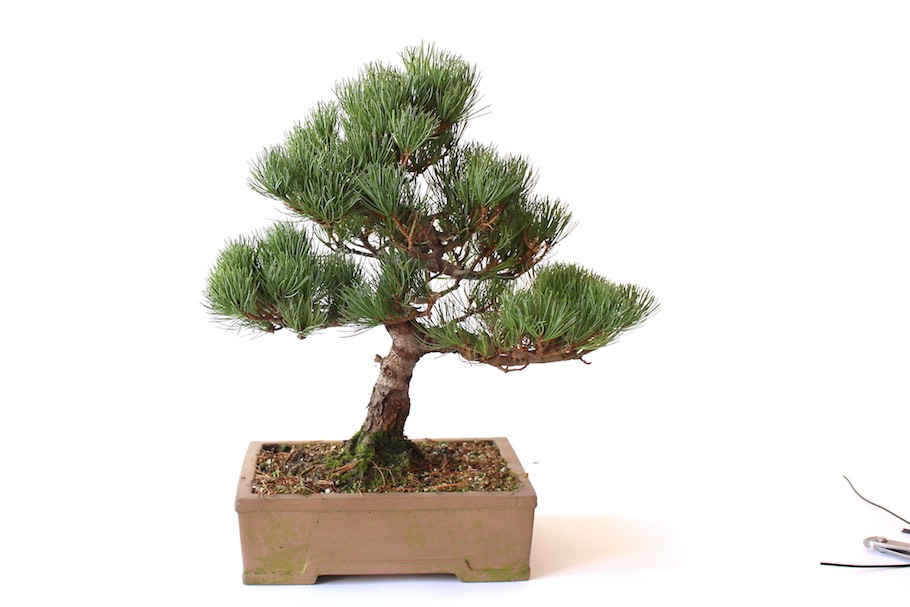 wiring bonsai trees to shape and bend the branches bonsai empire rh bonsaiempire com Blue Star Juniper Bonsai Blue Rug Juniper Bonsai