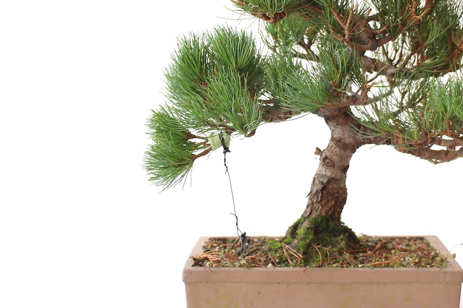 Awesome Wiring Bonsai Trees To Shape And Bend The Branches Bonsai Empire Wiring 101 Mecadwellnesstrialsorg