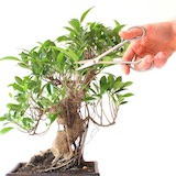 Pruning a Ficus