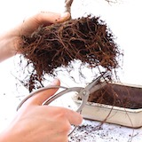 Pruning roots