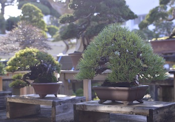 Advanced Bonsai course 1