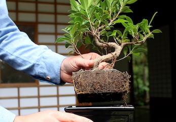 Ficus Bonsai course