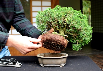 Juniper Bonsai course