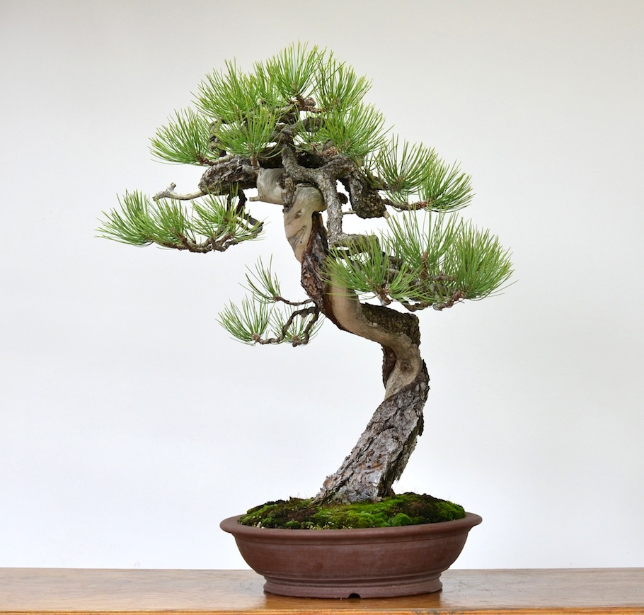 Care Guide For Pine Bonsai Species Pinus Empire Wiring My One Flush Pines Japanese White Parviflora Scots Sylvestris