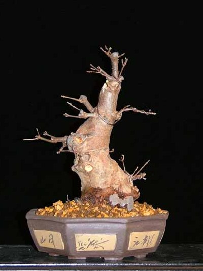trident maple acer buergerianum bonsai empire rh bonsaiempire com Bonsai Wiring Tips Bonsai Wiring Tips