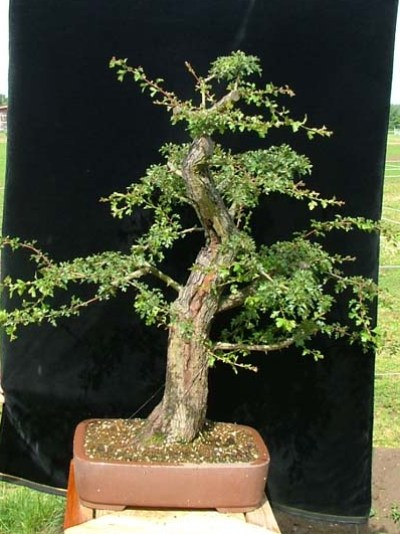Hawthorn nursery stock bonsai