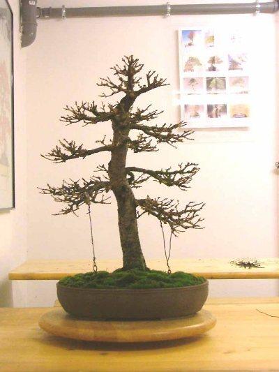 Larch Larix Eurolepis Bonsai Empire