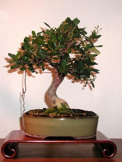 Cork Oak Quercus Suber Bonsai Empire