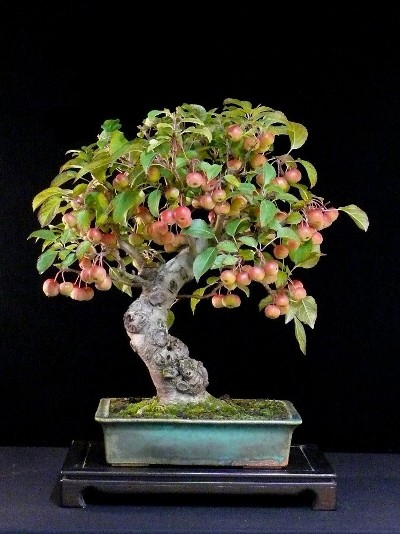 Apple bonsai