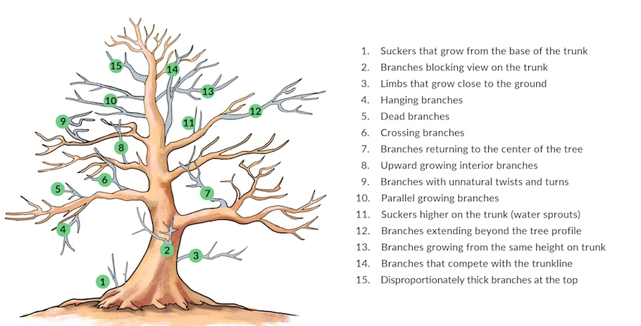 Pruning a Bonsai tree illustration