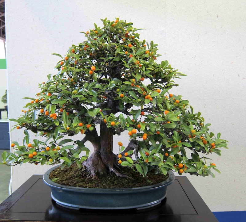 Citrus Bonsai Citrus Limon Sinensis Bonsai Empire
