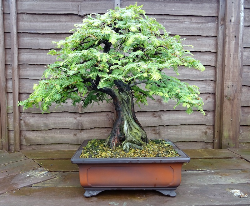 Redwoods Metasequoia Sequoia Bonsai Empire