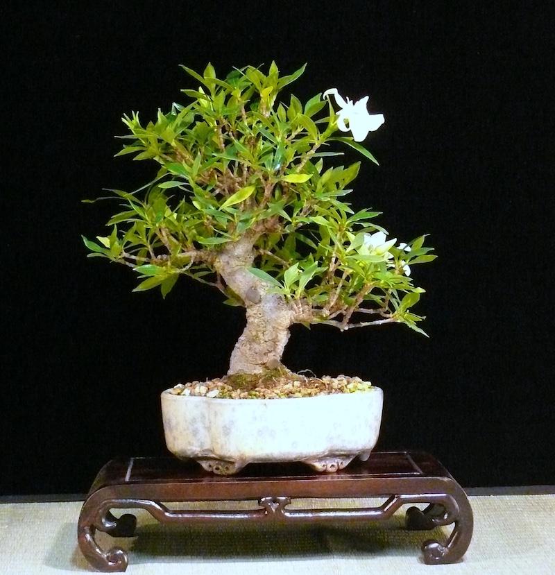 Merveilleux Gardenia Bonsai