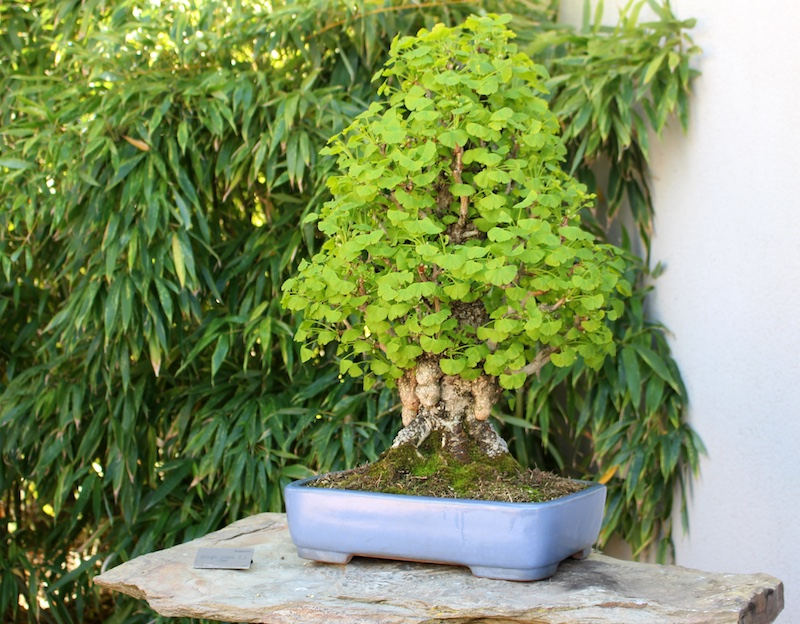 Ginkgo Ginkgo Biloba Bonsai Empire