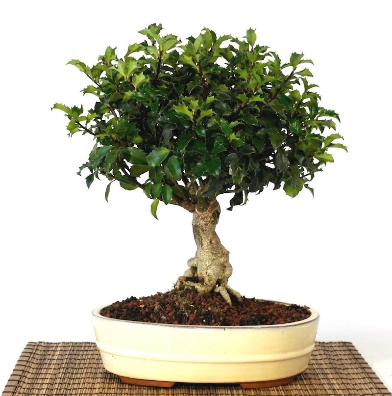 Anese Holly Bonsai