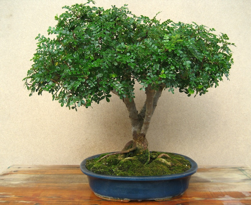 Chinese Pepper Bonsai