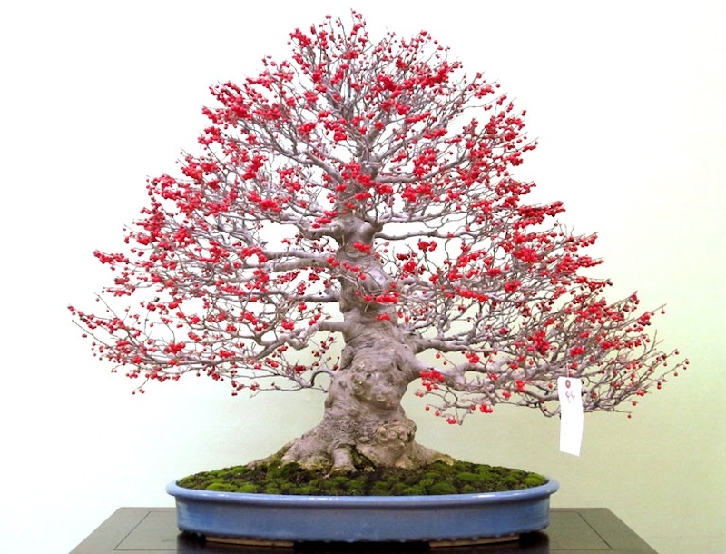 Japanese Winterberry Bonsai
