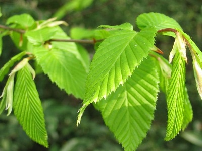 Hornbeam and Beech