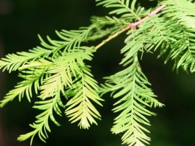 "Bald Cypress (Taxodium distichum)"" 300"