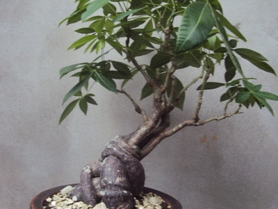 Money tree (Pachira aquatica) bonsai