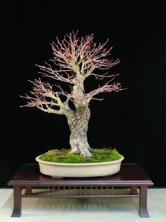 Care For The Japanese Maple Bonsai Acer Palmatum Bonsai Empire