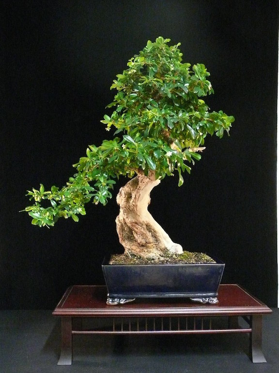 Care Guide For The Carmona Bonsai Tree Fukien Tea