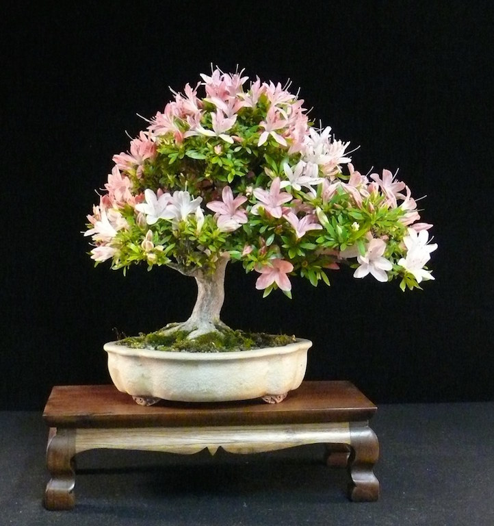 Care guide for the azalea bonsai tree rhododendron bonsai empire satsuki bonsai mightylinksfo