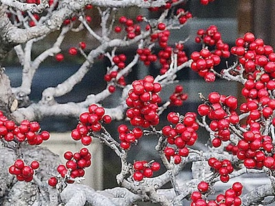 Japanese winterberry (Ilex serrata)
