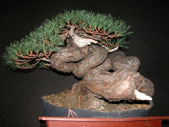 Pine Bonsai with twisted trunk revealed