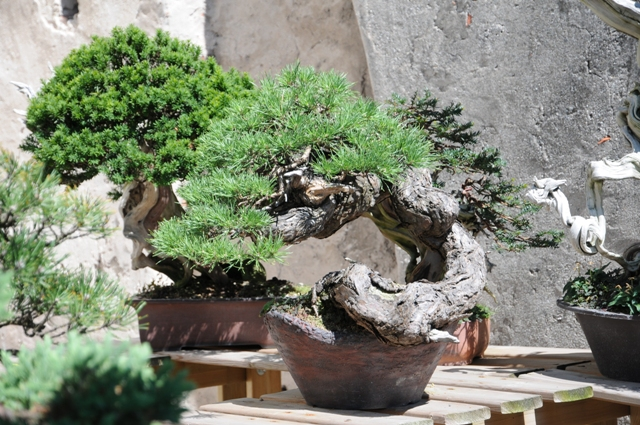 Pine bonsai in garden