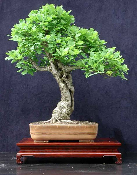 Bonsai oak tree