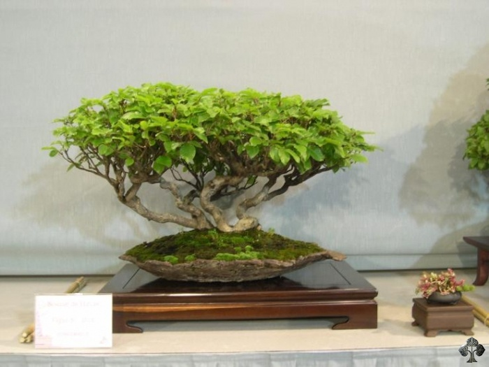 Fagus Beech Bonsai tree