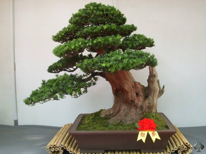 Buddhist Pine Podocarpus Bonsai Empire
