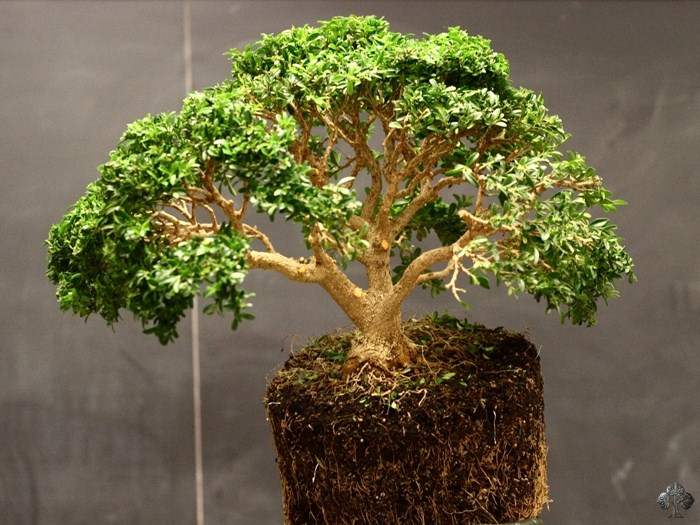 Buxus, Boxwood Bonsai