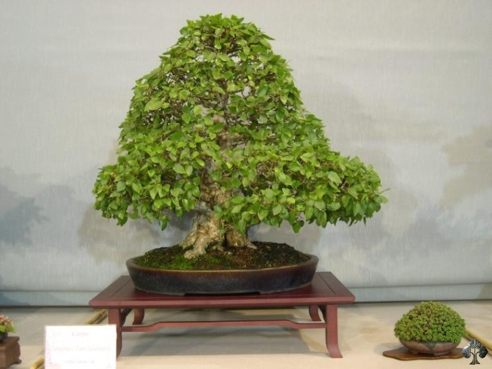 Hornbeam carpinus bonsai tree