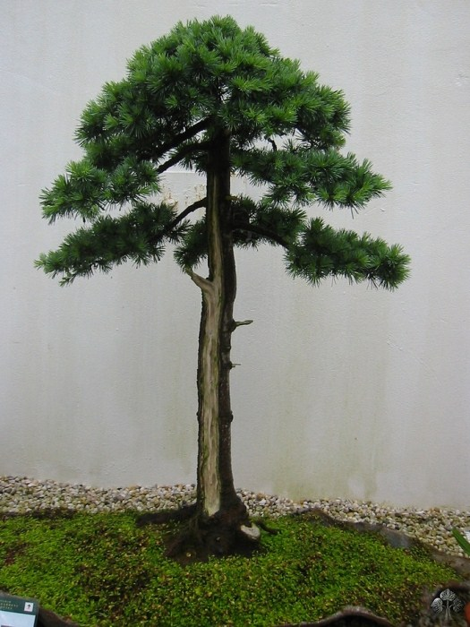 Cedrus, Cedar Bonsai tree
