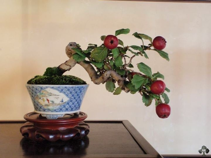 Malus, Crabapple Bonsai