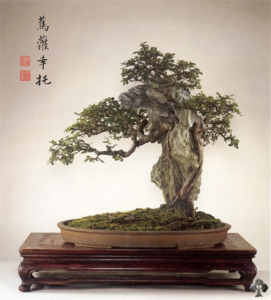 Care Guide For The Chinese Elm Bonsai Tree Ulmus Bonsai Empire