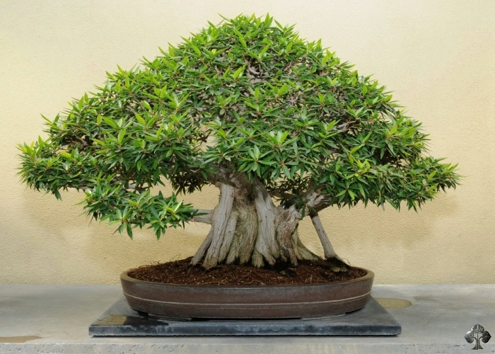 Care Guide For The Ficus Bonsai Tree Ficus Retusa Ginseng