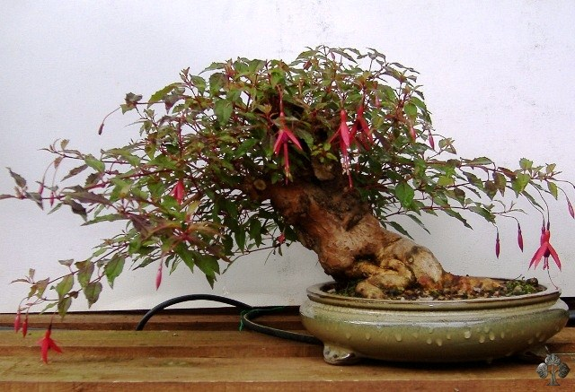 Fuchsia Bonsai Empire