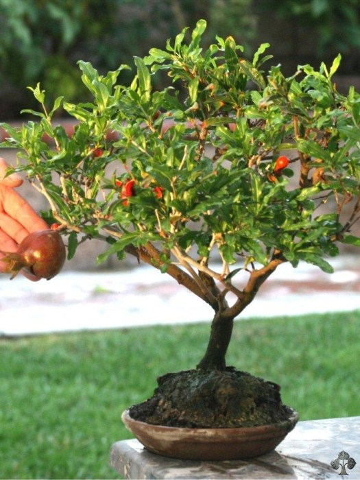 dwarf pomegranate punica granatum  bonsai empire, Natural flower