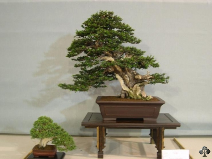 Taxus bacatta, Yew Bonsai tree