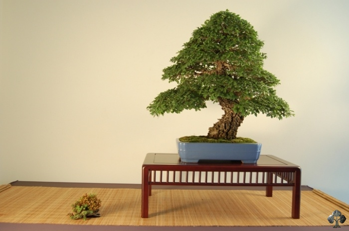 Zelkova, Japanese elm Bonsai